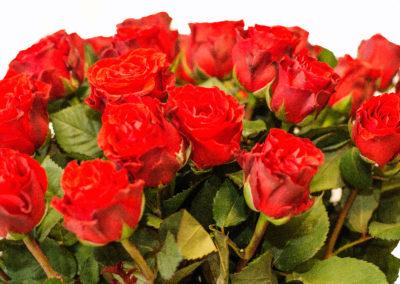 Růže červená 45,-