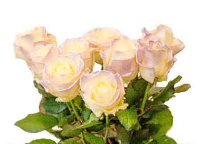 Růže Satin blue 79,-