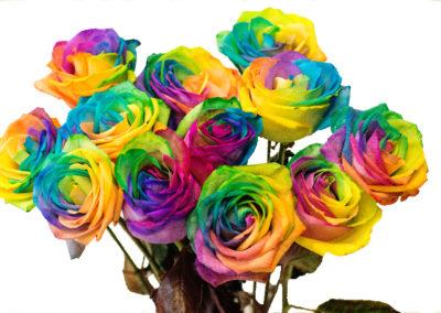 Růže duhová 79,-