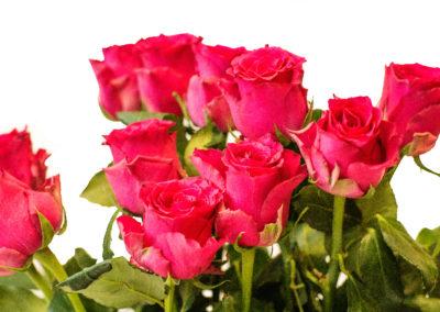 Růže růžová 45,-