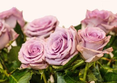 Růže světle fialová 45,-