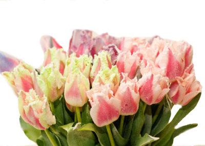 Tulipány frost 45,-