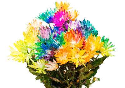 chrysanthema duhová 79