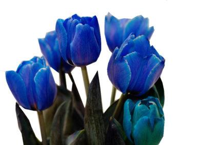 tulipány modré 45