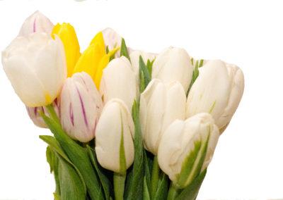 tulipány různé barvy 25,-